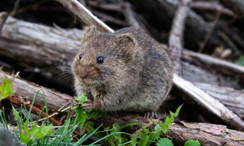 Deratyzacja obejmuje przede wszystkim myszy